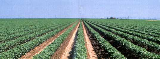 Cotton Rows