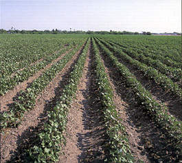 Dryland Cotton
