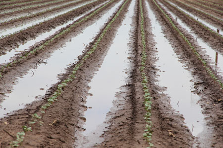 Cotton Rain