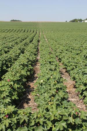 Kansas Cotton