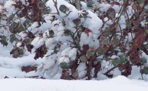 Snow Cotton