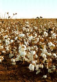West Texas Cotton