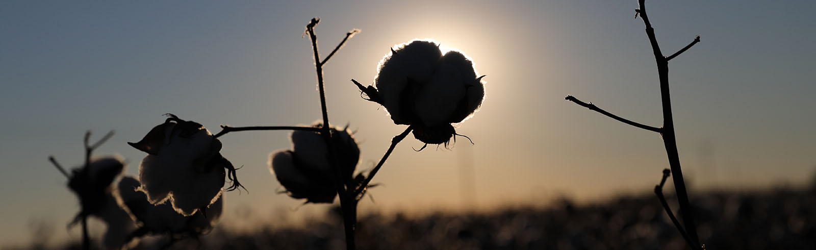 Cotton Boll Sunset