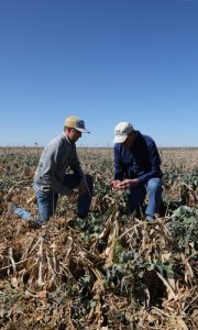 Chase Schuchard, Randall Bankhead, cover crop, inspecting
